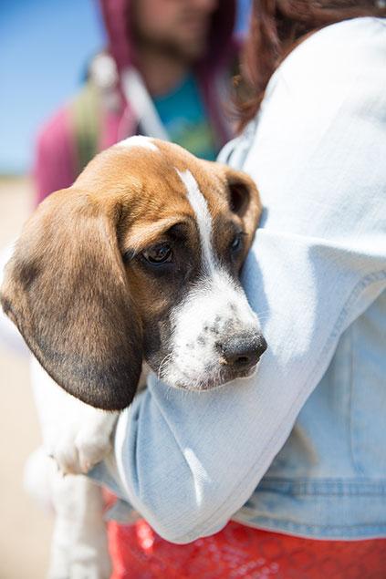 miniature beagle puppy beach photo