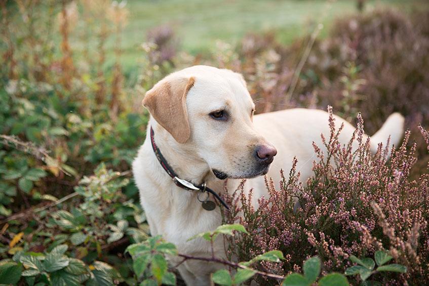 golden labrador sniffing heather bushes