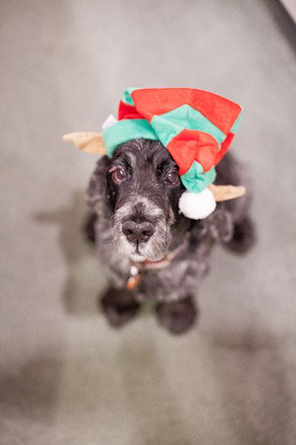 black cocker spaniel dog in elf christmas hat